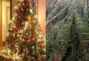 Chianciano: assessore Rocchi invita i cittadini , una volta passate le feste, a donare al comune gli abeti addobbati ad albero di Natale per farli reimpiantare