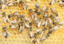 Toscana: emergenza apicoltura, presto incontro Regione-Associazioni per fronteggiare i danni causati dal riscaldamento climatico