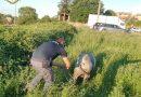 Siena : suino cade da un carrello ma il proprietario non se ne accorge. La polizia di Stato interviene e lo mette in salvo